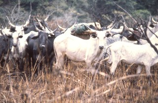 Fulani cattle | by superdove