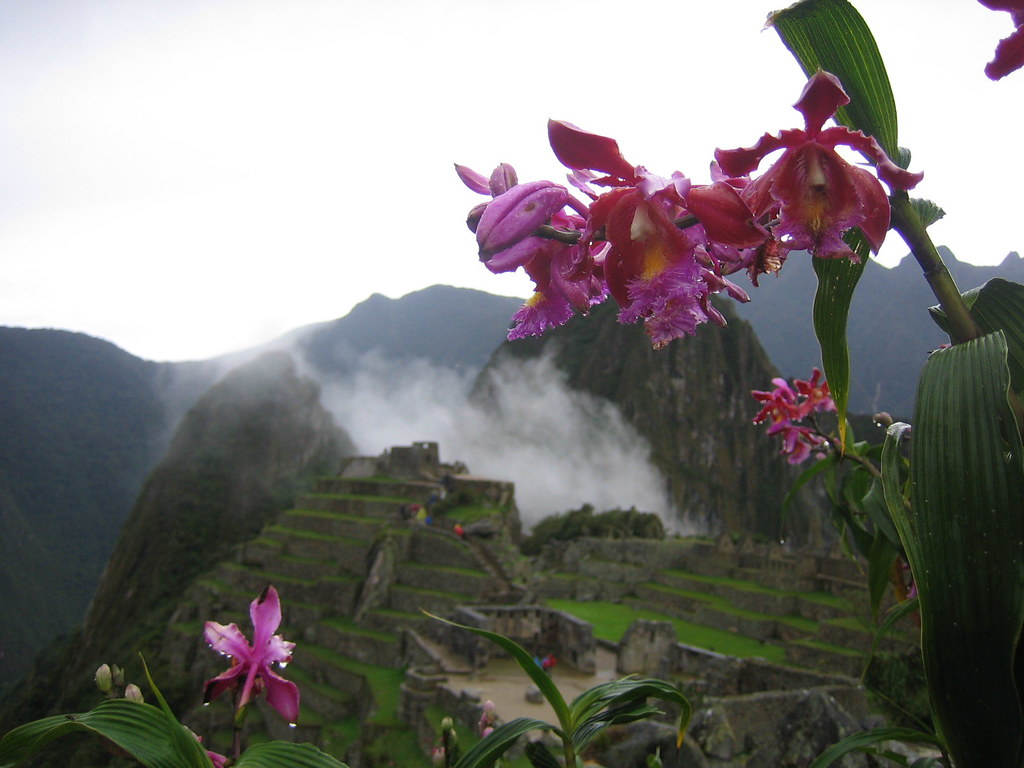 wild orchids  machu picchu is surrounded by these beautiful…  flickr, Beautiful flower