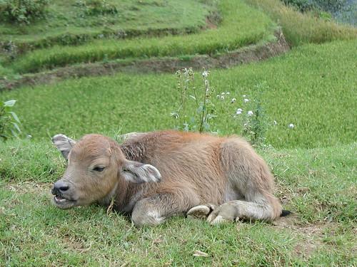 Cute baby water buffalo