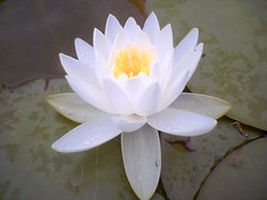 Lotus flower | by wasoxygen