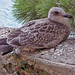 Baby Seagull