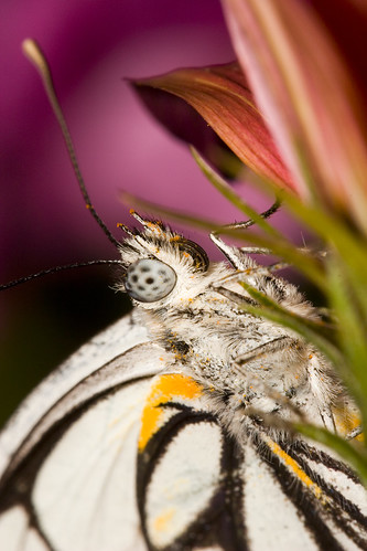 Caper White Butterfly - 1:1 macro ... | by young_einstein