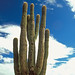 Saguaro Cactus at Camelback Mountain
