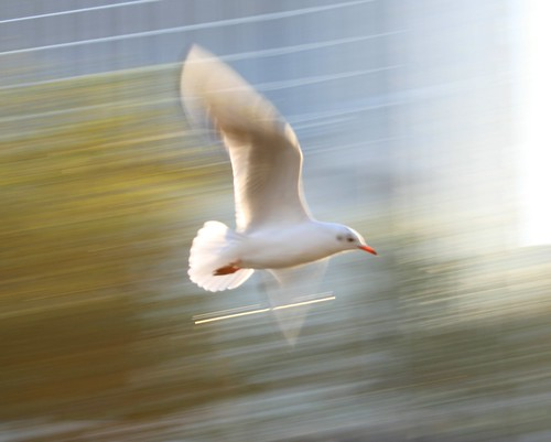 Panning Bird | by Donal O Caoimh (www.donal.ie)