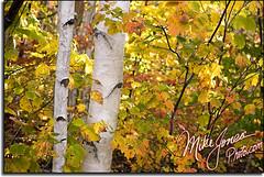 Birches 9624