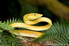 Golden-Vine-Snake | by Luís Louro