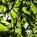 leaves at ashton court