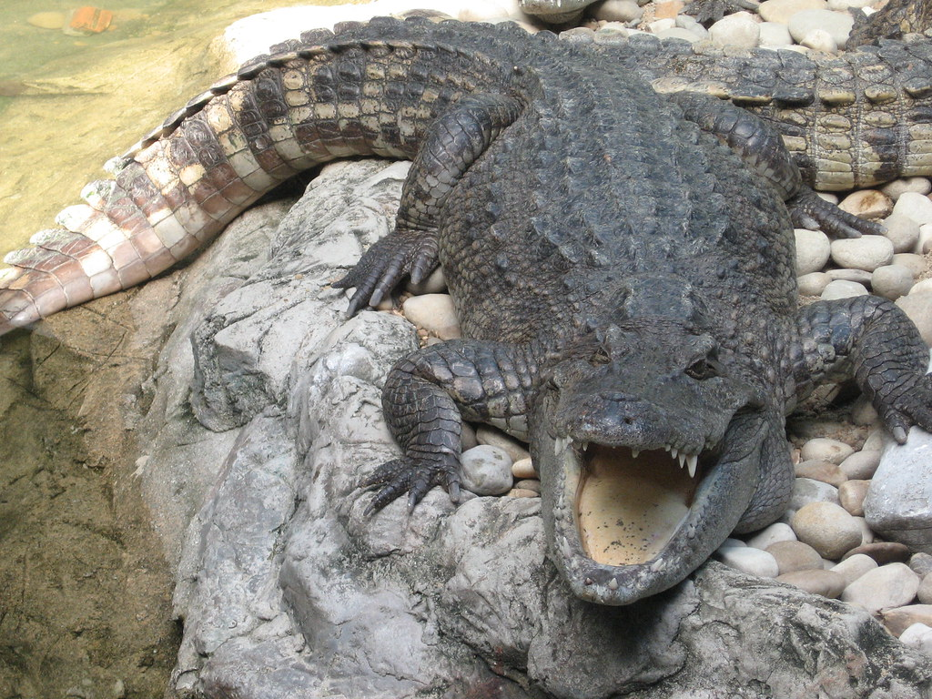 HAPPY GILMORE!!!   This is seriously the crocodile that ...