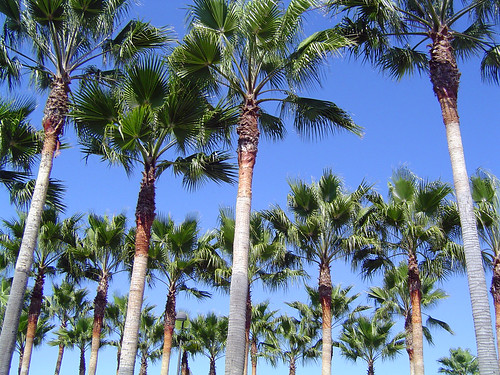 Palm Trees | by Paul!!!