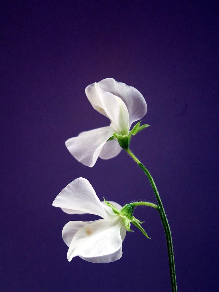 White sweet pea study a study of two white sweet pea flowe flickr white sweet pea study by saxonfenken mightylinksfo