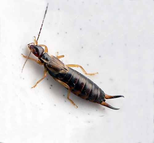 Earwig | by WesDigital