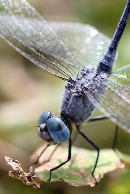 Macro - Dragonfly |