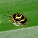 Target beetle 2 (Ischnocodia annulus)