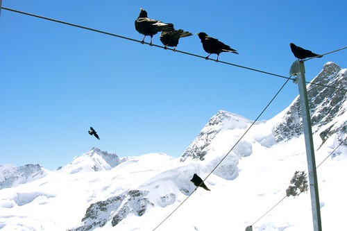Bird on a wire, Jungfraujoch. | by cyberick