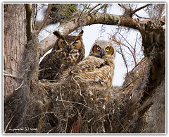 Great Horned Owls - Mother & Child | by Michael Pancier Photography