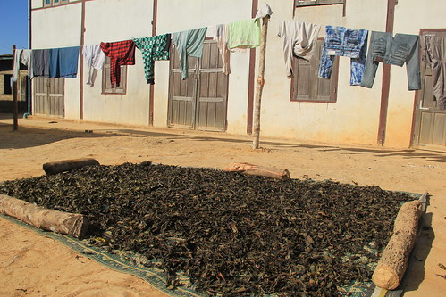 Green tea drying in the sun, Hinn Kha Gone village