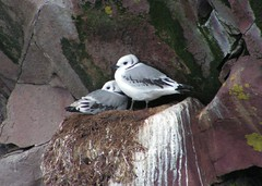 Kittiwake Chicks | by Jean Knowles