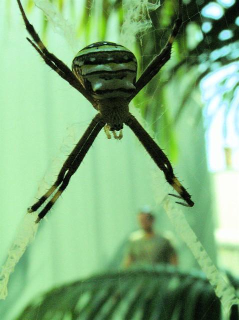 man-eating spider | Phoebe | Flickr