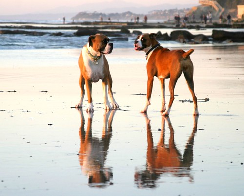 Lola with Bailey at Dog Beach | by Torri 479