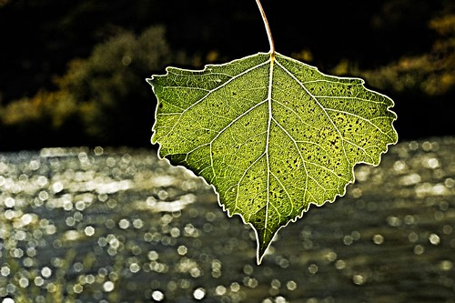 Cottonwood leaf on the Rio Grande | by theilr