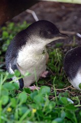 Fairy penguin 5 | by marcusfrieze