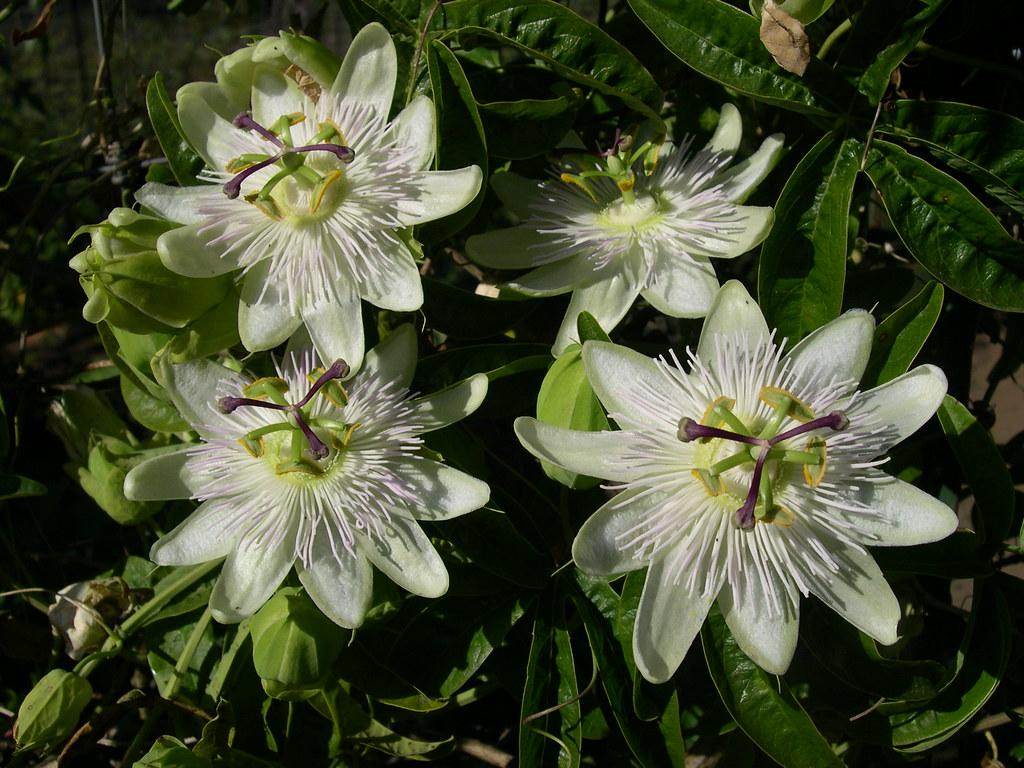 passiflora caerulea 39 constance elliott 39 since there were. Black Bedroom Furniture Sets. Home Design Ideas