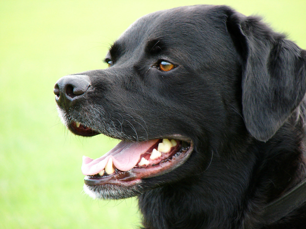 Labrador Retriever Dog Breed Group