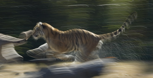 Tiger Chase | by Tancread