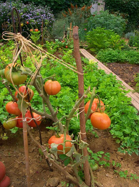 Tomates du jardin partag flickr photo sharing for Jardin partage