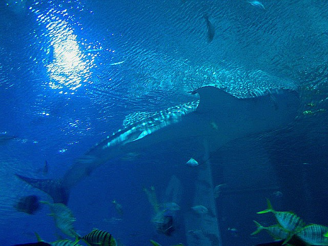 Whale Shark Georgia Aquarium Atlanta Georgia Usa