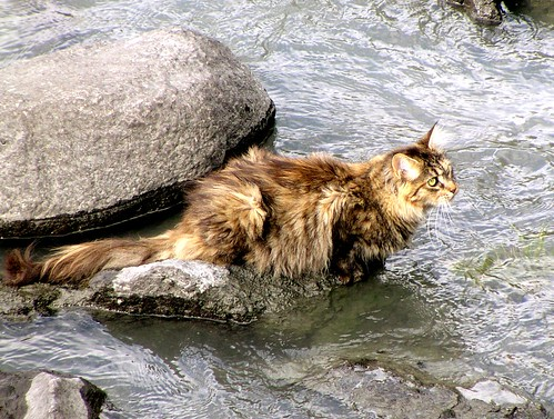 Norwegian Forest Cat Captured This Cat In Lom Norway