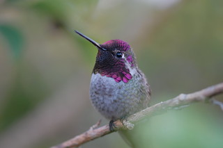 Hummingbird Is Watching You 静观其变 | by Y. Peter Li Photography