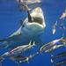 50 mm macro of White Shark