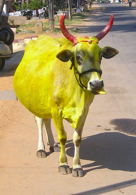 yellow cow cow painted yellow for a hindu festival