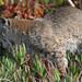 bobcat hunting, step 5:  savor your success