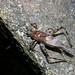 Forest cricket (Subtiloria sp), São Tomé Island