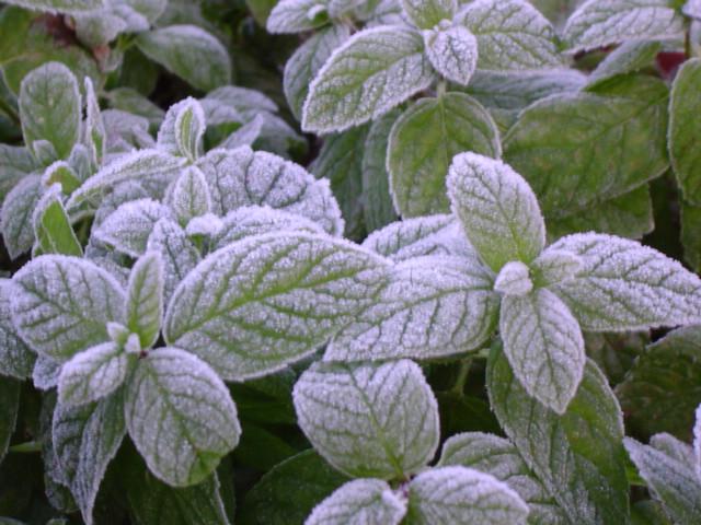 Frosty mint