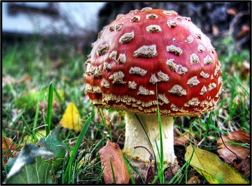 fly agaric [HDR] | by silviaON