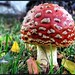 fly agaric [HDR]