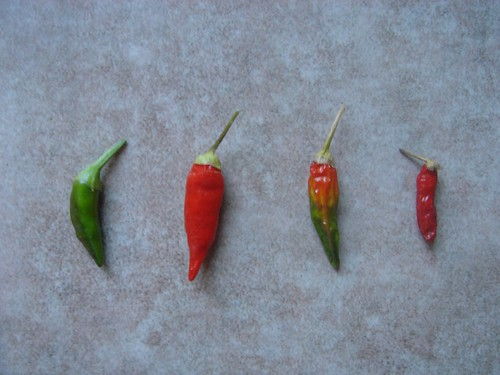 Thai Chili peppers | by nicodeemus1