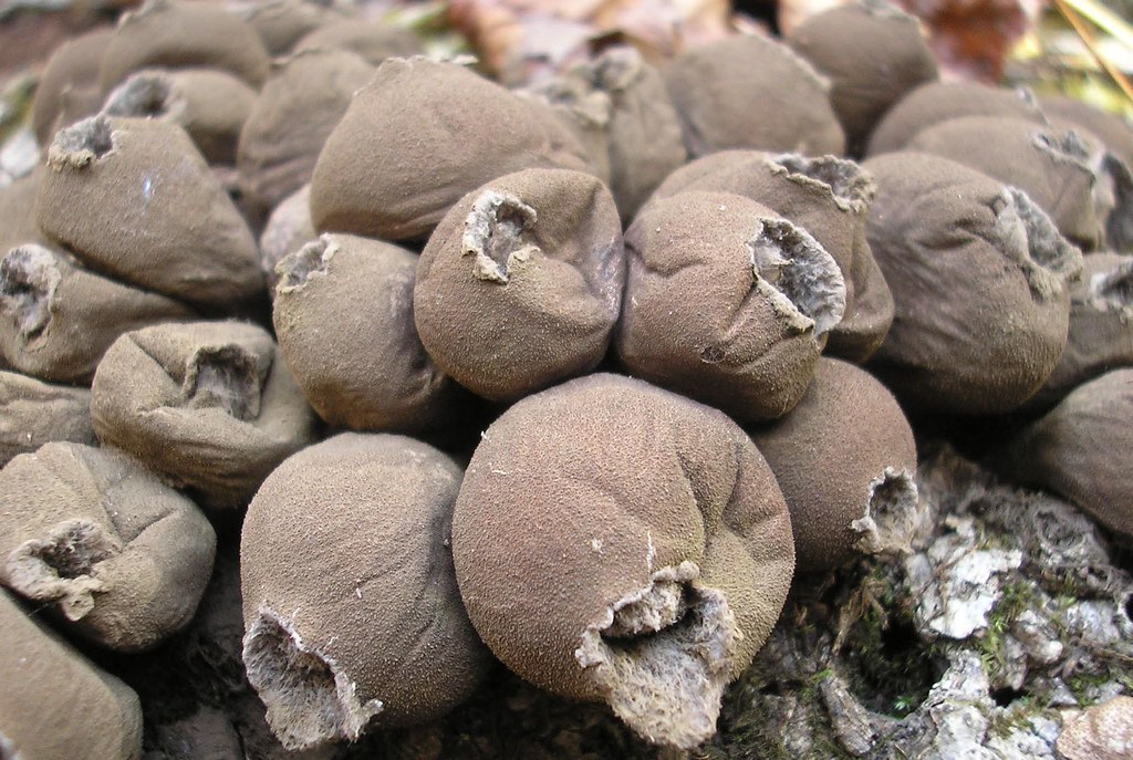 how to grow puffball mushrooms conan