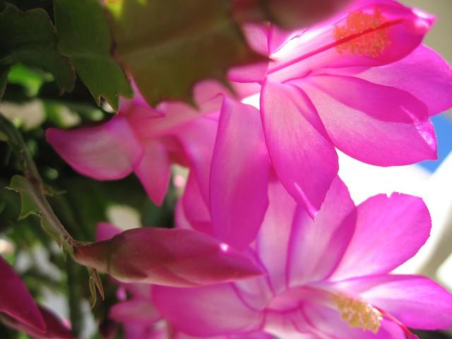 Flor del cactus de navidad flickr photo sharing for Cactus de navidad