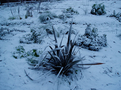 Phormium in Winter | by RHR Horticulture