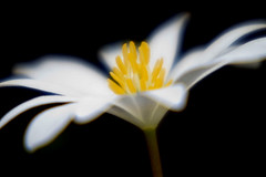 Blood Root | by Jim Dollar