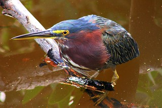 Green Heron (butorides virescens) | by StGrundy