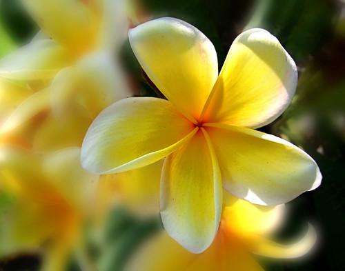 Yellow Plumeria Yellow Plumeria Frangipani Backround