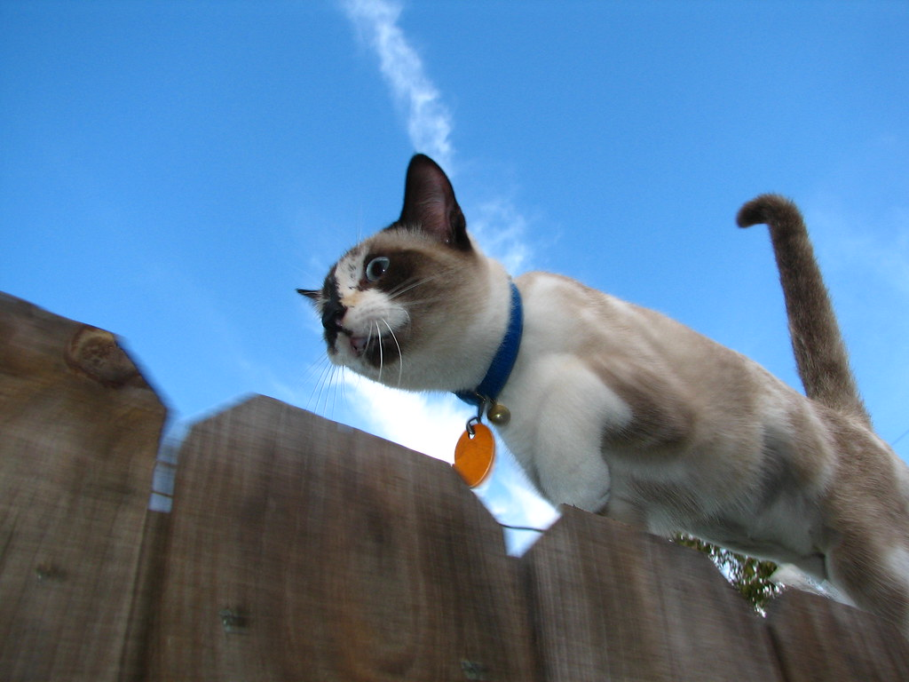 Cat In Motion Jingle Jogging Along The Top Of The Fence