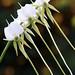 Angraecum cormornse 'Zuma Beauty'  CCM/AOS  x  self