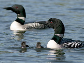 Loon Family | by Dan Tristram Photography