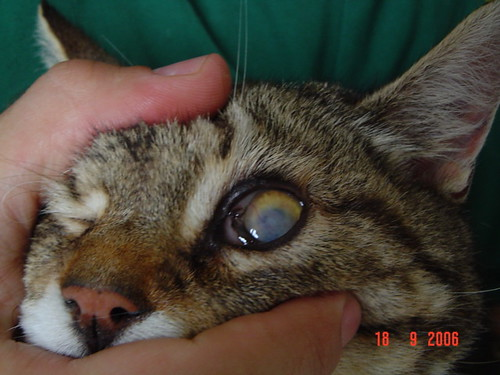 Ulcers On A Cats Eye In Pictures